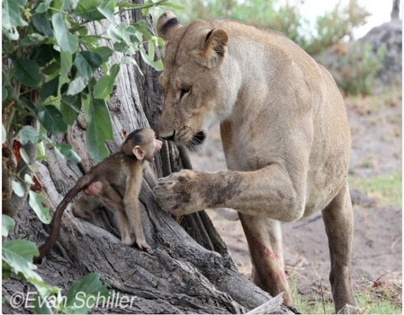 baby monkey and lioness