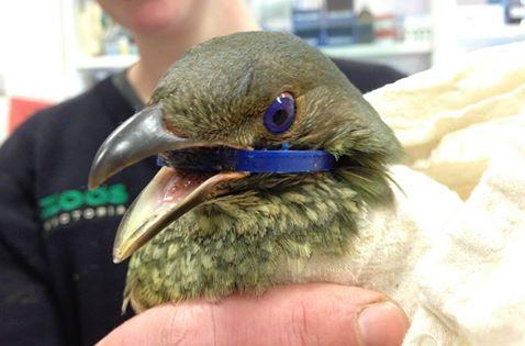 Bowerbird-Blue-Ring